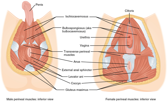 Muscle of the male perineum